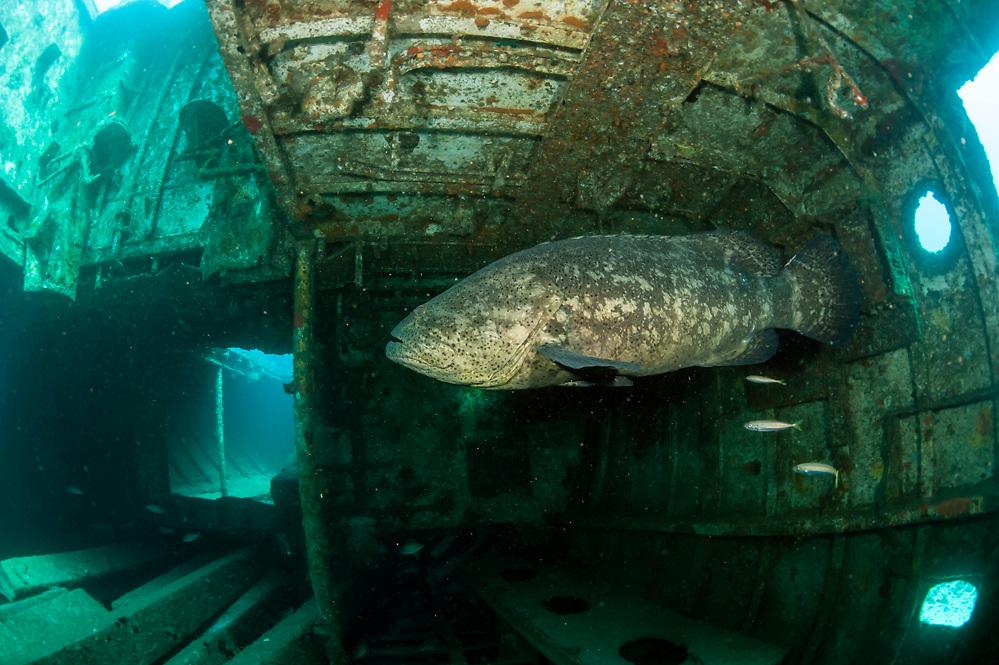 Goliath Grouper, Epinephelus itajara, swims inside the Danny shipwreck offshore Singer Island, Florida, United States during the summer spawning aggregation.