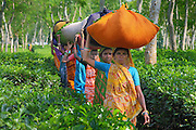 Tea pickers in Sylhet Region, near Srimangal, in Bangladesh. Those tea pickers are bringing back their tea harvest to the Tea Estate factory. They will be paid in relation with the weight of their tea harvest. Women picking tea in the tea gardens are from an ethnic group originally coming from India. The tea Estastes in Bangladesh are mainly producing black tea.