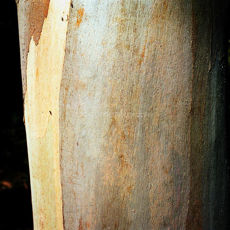 Ecorse d'Eucalyptus sur l'ile de porquerolles