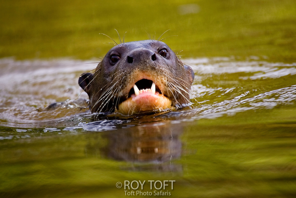 Close-up of a giant otter swimming in a river, Pantanal, Brazil.