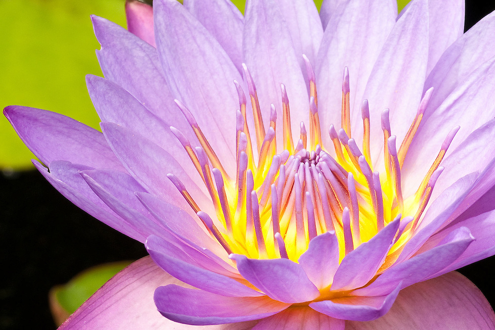 Waterlily Aglow