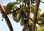 Yucatan woodpecker on a tropical tree.