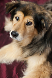 Collie Mix black & tan - owner Jed Floding