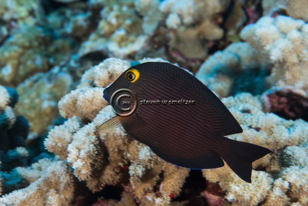 Goldring Surgeonfish, Ctenochaetus strigosus, (Bennet, 1828), Lanai Hawaii