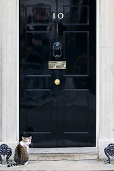 © Licensed to London News Pictures. 29/03/2017. London, UK. Larry the Downing Street cat wanders in Downing Street before Prime Minister Theresa May Article 50 statement to the House of Commons in London on Wednesday, 29 March 2017 as Prime Minister Theresa May triggers article 50 and starts Britain's departure from the European Union. Photo credit: Tolga Akmen/LNP