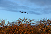 Magnificent frigatebird (adult male) in flight