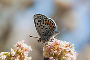 Euphilotes allyni - El Segundo Blue