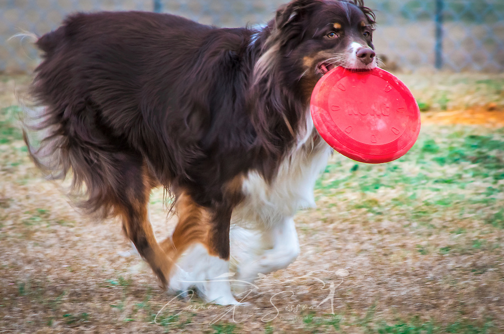 Cowboy, a five-year-old Australian Shepherd, plays with a red, Kong frisbee at the Bark Park dog park in Columbus, Mississippi, Feb. 21, 2013. (Photo by Carmen K. Sisson/Cloudybright)