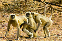 Indian langur monkeys, Ranthambhore National Park, Rajasthan, India