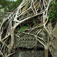 Fig tree roots growing at wall at Angkor Wat