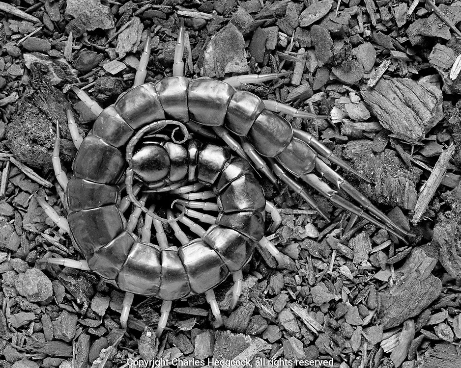 Vietnamese blue-legged centipede, Scolopendra subspinipes, Selenium toned gelatin silver print