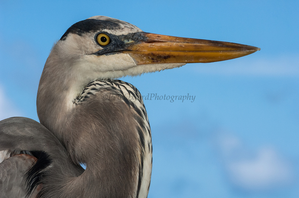 Great Blue Heron (Ardea herodias)<br /> Puerto Ayora. Santa Cruz Island, GALAPAGOS<br /> ECUADOR. South America<br /> RANGE; Alaska, USA to Islands of Venezuela &amp; Galapagos
