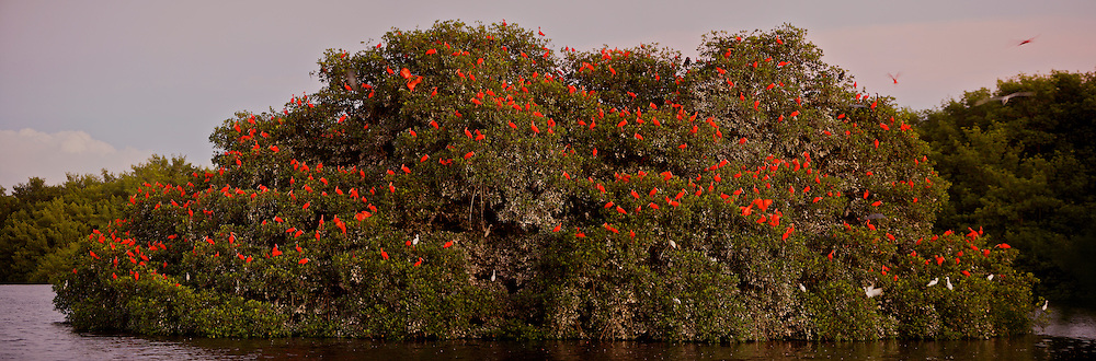 Scarlet ibises on their roosting trees on a small mangrove island in the Caroni Swamp..Caroni Bird Sanctuary, Trinidad.