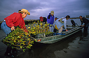 Volunteers plant red mangroves, Rhizophora mangle, on the Snook Islands, in the Lake Worth Lagoon to help restore the local environment.