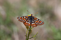 Euphydryas editha augustina (Edith's Checkerspot) at Bluff Lake Meadow, San Bernardino Co, CA, USA, on Winter cress 17-Jun-12