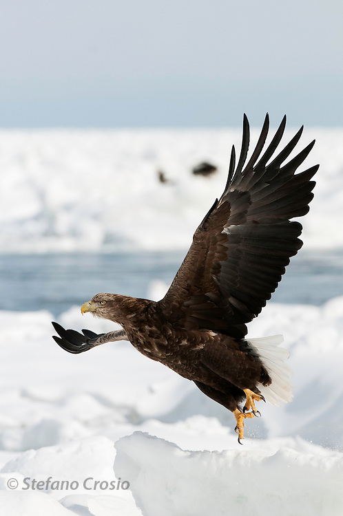 JAPAN, Eastern Hokkaido.White-tailed sea eagle (Haliaeetus albicilla) taking off
