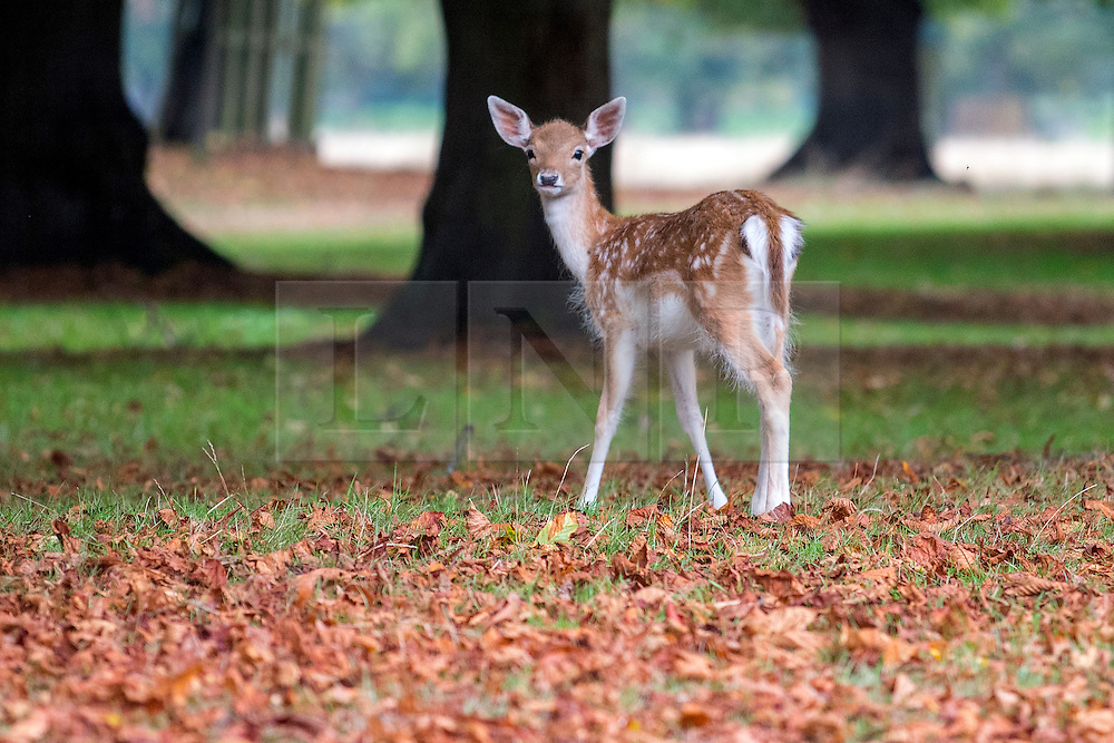© Licensed to London News Pictures. 19/09/2016. London, UK. A Fallow Deer Fawn forages in the Autumn Leaves. Deer in the first leaves of Autumn, today, 19th September 2016, in Bushy Park, Surrey. Photo credit : Stephen Simpson/LNP