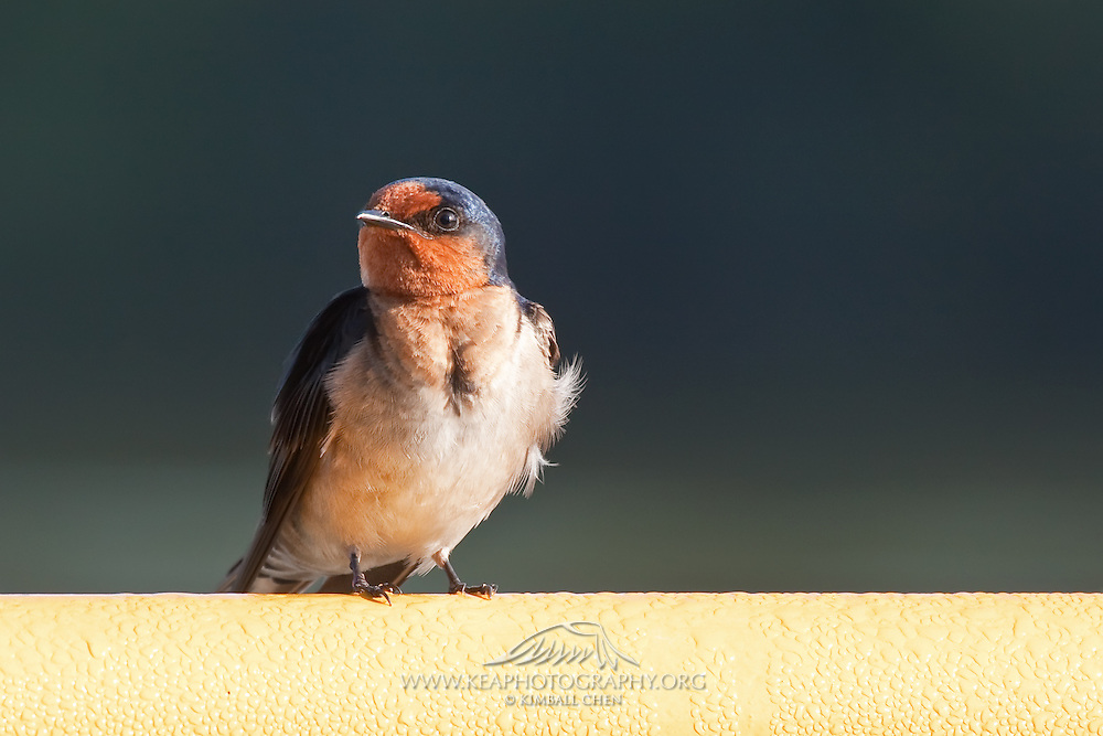 welcome swallow, New Zealand