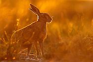 European Hare (Lepus europaeus) adult on farmland track at dusk, Norfolk, UK.