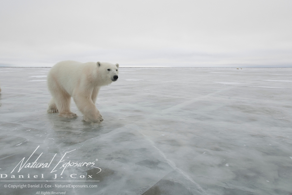 Polar Bear (Ursus maritimus) on the ice in Churchill, Manitoba, Canada.