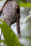 Cocoa pods are sensitive to weather conditions and diseases like .black pod. are a result of intense heavy rains.