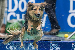 61539530<br /> A dog jumps into the water during a dog diving competition in Budapest, Hungary on May 18, 2014. Dog diving is free time sport testing the skill of the dogs. The owner throws a toy into the pool and the dog jumps into the water to retrieve it. Some dogs enjoy it, while some simply skip the task. Rules of the competition strictly forbid for the owners to toss the dogs into the water. It is a game the dog must enjoy and want to cooperate, Hungary, Sunday, 18th May 2014. Picture by  imago / i-Images<br /> UK ONLY