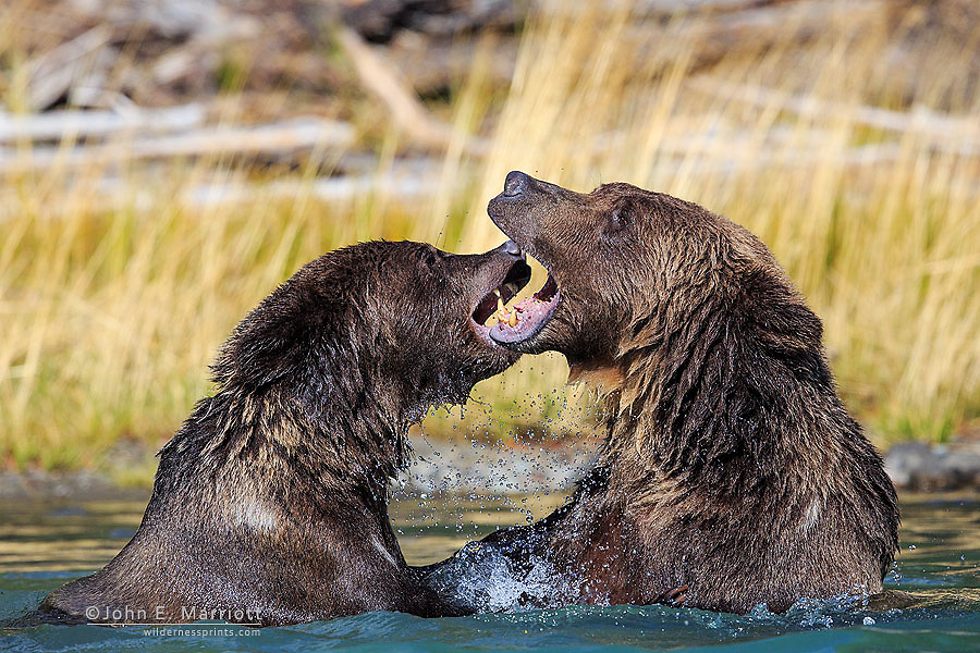 Grizzly bears playfighting, British Columbia, Canada