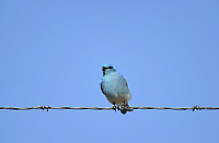 Mountain Bluebird (Sialia currucoides) on wire in the Porcupine Hills, near Calgary, Alberta, Canada   Photo: Peter Llewellyn