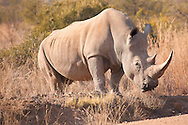 Cautious male White Rhino