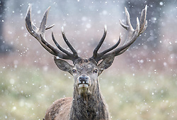 © Licensed to London News Pictures. 26/02/2018. London, UK. A deer stag stands in heavy snowfall and freezing temperatures in Richmond Park, west London, as a cold front sweeps in from the east. Up to 20cm of snow are expected in parts of the UK, with temperatures feeling as low as -15C in some places. Photo credit: Ben Cawthra/LNP