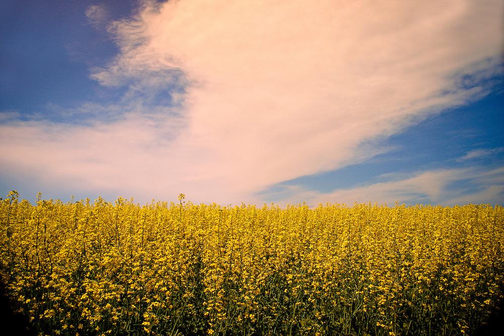 Mustard ripens in hot prairie sun, blue sky white clouds overhead