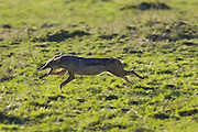 Black-backed Jackal<br /> Canis mesomelas<br /> Masai Mara Triangle, Kenya