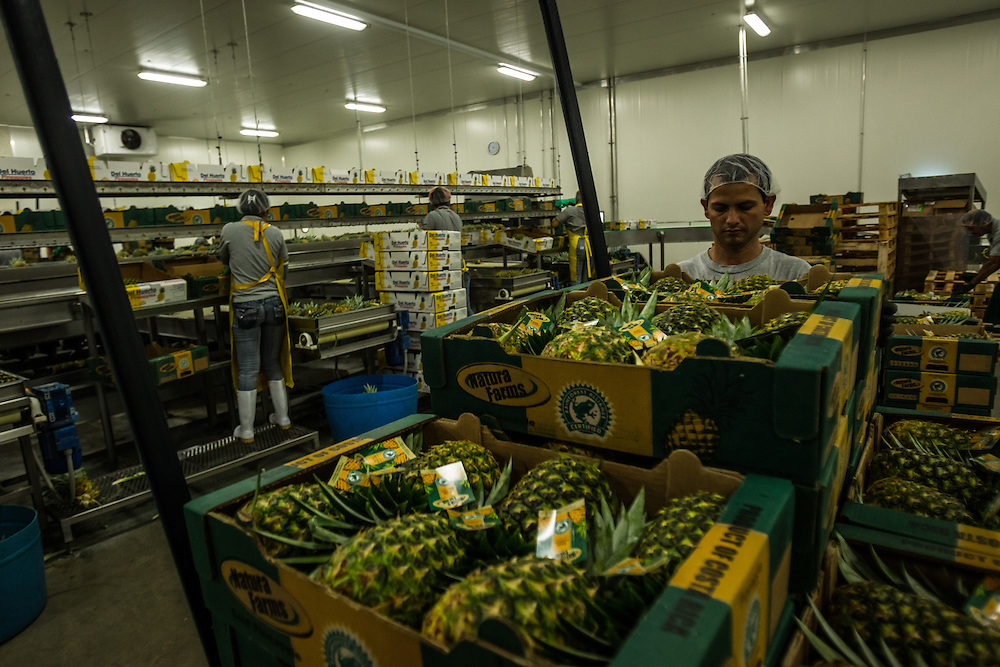 Workers box pineapples in boxes with the Rainforest Allianance logo on them to be exported,  January 13, 3014. Environmentalists claim the pineapple industry is contaminating the environment and local water supplies.