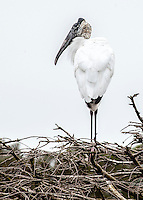 Wood storks standing in a tree.