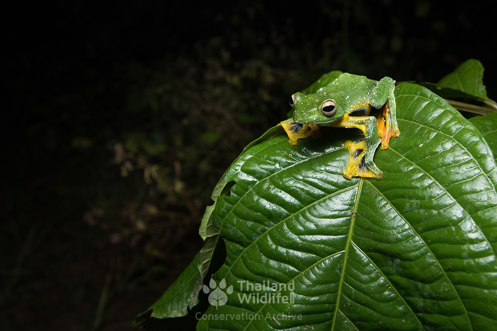 Phongsaly Tree Frog (Rhacophorus kio) male in Kaeng Krachan national park, Thailand