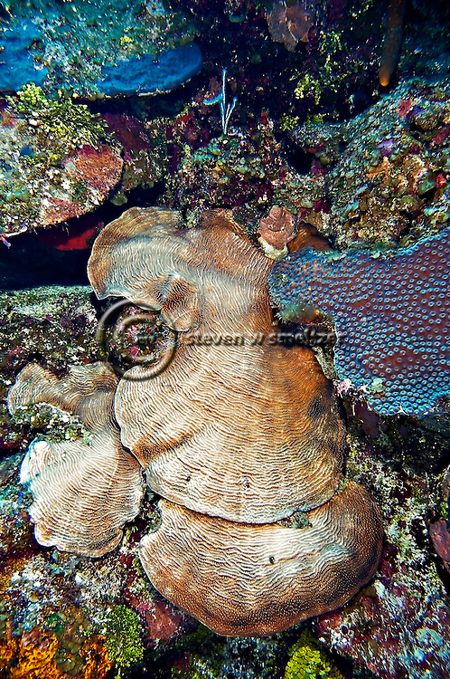 Lamarck's sheet coral at 90 feet off the east wall in Grand Cayman