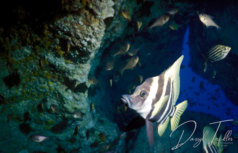 Typical habitat for the Striped Boarfish: Evistias acutirostris, resting in caves, Kermadec islands, New Zealand.
