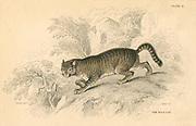 European Wild Cat (Felis silvestris).  From 'British Quadrupeds', W MacGillivray, (Edinburgh, 1828), one of the volumes in William Jardine's Naturalist's Library series. Hand-coloured engraving.