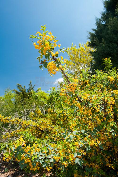 Denver Botanic Gardens, Mahonia fremontii, Fremont Barberry, Dry Land Mesa