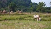 Brahma bull, Ulpotha, Sri Lanka