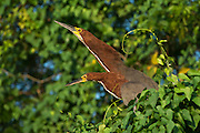 Rufescent Tiger Heron (Tigrisoma lineatum)<br /> Northern Pantanal<br /> Mato Grosso<br /> Brazil