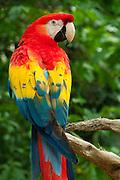 Scarlet Macaw (Ara macao) at Xcaret eco-archeological park, Riviera Maya, Mexico.