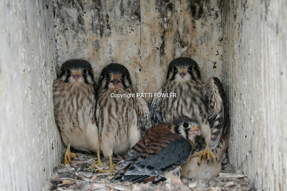 American Kestrel juveniles inside wood duck box