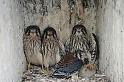 American Kestrel juveniles inside wood duck box