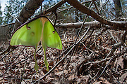 A recently emerged Luna moth (Actias luna) in habitat - Oxford, Mississippi