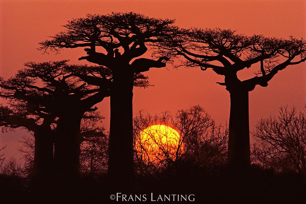 Baobabs in winter, Western Madagascar