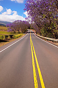 Jacaranda tree, road to Haleakala, Upcounty Maui, Hawaii