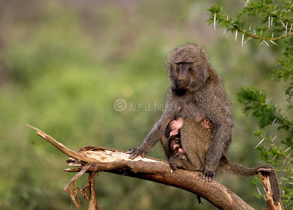 Olive Baboon (Papio anubis) with baby in Samburu NP, Kenya.
