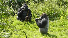 UK: Gorillas at Paignton Zoo - 3 July 2017