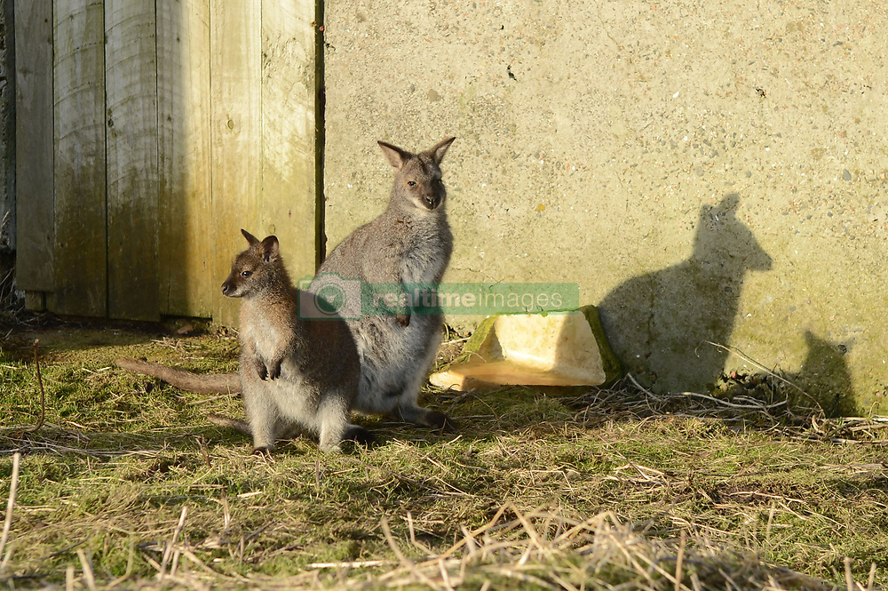 EXCLUSIVE: An Australian man has created his own Outback outpost 11,000 miles from home on the Shetland Islands – and he even has WALLABIES. Tasmanian Dave Kok, 42, has built his own Aussie oasis on the Scottish archipelago after deciding to settle there when he was travelling Europe. Now Dave lives with his Shetland native wife Louise, 38, and two daughters Caitlin, 11, and Ruby, aged four. Social care worker Dave came to the islands in the late 90s and since 2016 has been building his own watering hole choc-full of Australiana on the island of Burra. Dave's place 'The Outpost' is a renovated wooden porta cabin filled with Tasmanian beers, Tim Tams, books on bush craft and Aussie Rules sporting memorabilia. Locals use the Outpost as their local bar and meeting place, as the nearest pub or café is three bridges and three islands away. And visitors can now enjoy the Outpost's wallabies Ned and Kelly who David brought to the island this winter. Based on the Shetland Islands latitude the marsupials could be the most northerly of their species anywhere on the planet. Dave said visiting Australians are often surprised to find the antipodean paradise in such a remote location. 16 Feb 2018 Pictured: Pic from Dave Donaldson/ Magnus News Agency. Pic shows (left to right) Kelly and Ned the wallabies at Aussie-themed Outpost in the Shetland Islands. An Australian man has created his own Outback outpost 11,000 miles from home on the Shetland Islands – and he even has WALLABIES. Tasmanian David Kok, 42, has built his own Aussie oasis on the Scottish archipelago after deciding to settle there when he was travelling Europe. Now David lives with his Shetland native wife Louise and two daughters Caitlin, 11, and Ruby, aged four. Social care worker David came to the islands in the late 90s and has built his own watering hole choc-full of Australiana on the island of Burra. David's place 'The Outpost' is a renovated wooden porta cabin filled with Tasmanian beers, Ti